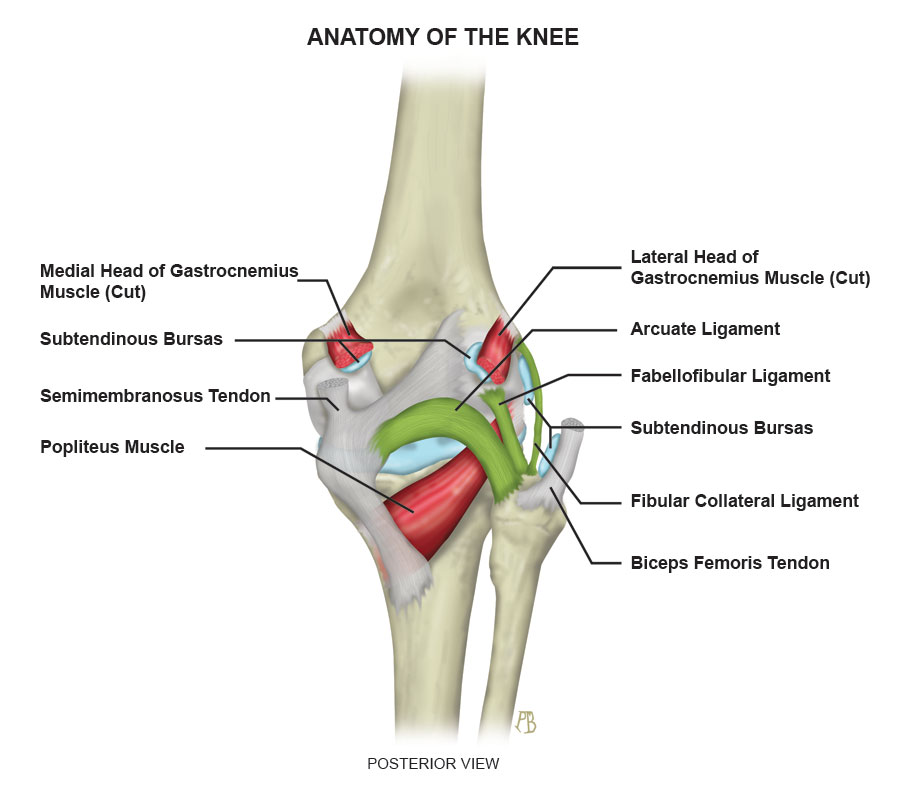 Arcuate Ligament - ProScan Education